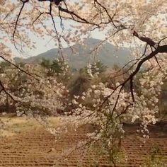 "@Graham Budd's photo: ""Quick video of the #cherryblossom at Seoraksan Nation Park. #seasons #spring #trees #korea #한국 #속조 #asia #southkorea"""