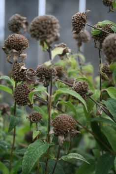 s bee balm (Monarda spp) tend to look scraggly by late summer, and deadheading doesn't always bring back new blooms,""