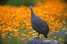 Helmeted guineafowl at Kirstenbosch National Botanical Gardens, Cape Town, Western Cape. National Botanical Gardens, South Afrika, Guinea Fowl, African Animals, Nature Reserve, Africa Travel, Beautiful Birds, Cape Town, Flower Power