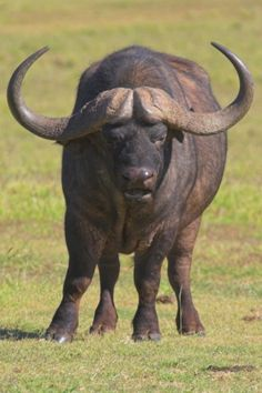 Cape Buffalo.        Now everyone, after me. First, lean to the left, one, two. Then, to the right, one, two.
