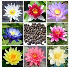 20Pcs Home Lotus Flower Bonsai Aquatic Plants Bowl Water Lily Perennial Nymphaea #Mesprout