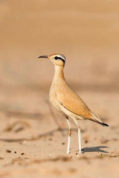 Cream-coloured courser by Nimit Virdi on 500px