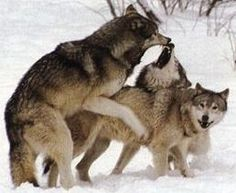 wolfs fighting