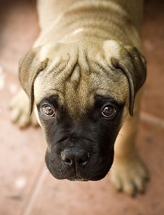 Mastiff These dogs have big hearts, not big energy. So long as your space is large enough for a Mastiff to comfortably move around and you're up for a daily stroll, a Mastiff will be good in your home. Be prepared for a big head in your lap each time you sit down. Gentle giants indeed. Depending on your size preferences, you can choose from a few sub-breeds, such as the 100-pound Neapolitan Mastiff all the way up to the 200-pound (or larger) English Mastiff, like the one pictured at left.