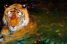 Tigers are cool