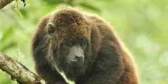 Save the Northern Brown Howler Monkey