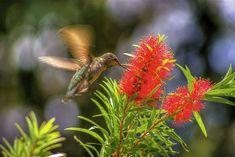humming birds in flower gardens   Bottlebrush & hummingbird.   Hummingbird Garden - Nectar Flowers USA