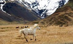 Running horses in open field near grundarfjörður in Iceland by jorik Heins on 500px