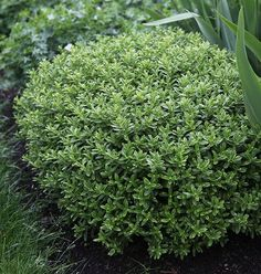 £9-99 pot Buy shrubby veronica Hebe rakaiensis: Delivery by Crocus