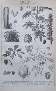1895 TRICOCCEN BOTANIK Original Alter Druck Antique Print Lithographie Pflanzen | eBay