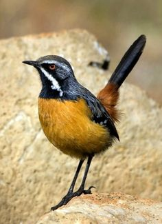 Drakensberg Rockjumper (Chaetops aurantius). A passerine bird endemic to the alpine grasslands and rock outcrops of the Drakensberg Mountains of South Africa   photo: Hugh Chittenden.