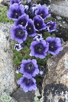 Stolons to 10 cm, much branched. This is a ground hugging perennial plant from the Himalayas which has beautiful blue urn-shaped flowers, Rock Flowers, Purple Flowers, Wild Flowers, Beautiful Flowers, Beautiful Pictures, Alpine Garden, Alpine Plants, Rock Garden Plants, Shade Garden