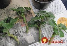 On The Net Landscape Design And Style - The New On-line Tool That Designers Are Flocking To For Landscape Designs The Garden Of Eaden: How To Take Geranium Cuttings Outdoor Plants, Garden Plants, House Plants, Outdoor Gardens, Propigating Plants, Geraniums Garden, Container Gardening, Gardening Tips, Succulent Containers