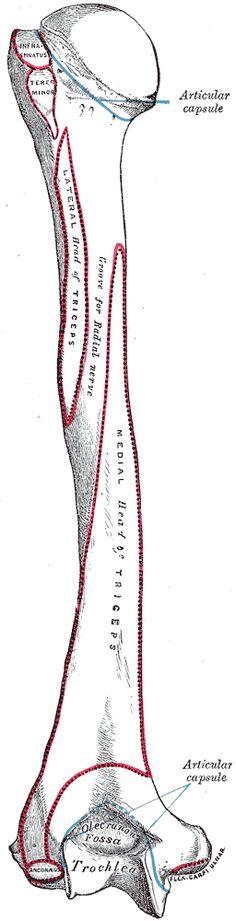 Humerus bone of the upper human arm