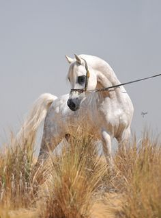 Welcome to Al Bawady Stud - Straight Egyptian Horses in Cairo - Egypt