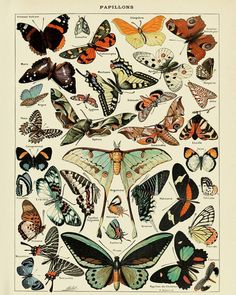 Vintage Butterfly Print, French Insect Chart Butterfly Illustration Biology Poster Wall Art Home Decor - A vintage chart, in French, illustrating various types of butterflies, by the famous French botanic - Illustration Papillon, Butterfly Illustration, Antique Illustration, Graphic Illustration, Vintage Illustrations, Digital Illustration, Vintage Wall Art, Vintage Walls, Vintage Prints