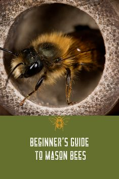 Everything you need to know about Mason Bees one of America's most effective pollinators in nature. How to attract these super pollinators and Mason Bee Houses. Cactus Care, Cactus Flower, Honey Bee Garden, Bee Rocks, How To Grow Cactus, Dragon Garden, Buzzy Bee, Mason Bees, Bee House