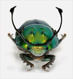 Onthophagus (Proagoderus) rangifer.  Dung beetles use horns to protect tunnels, which attract females because they can lay eggs there.   Photo by Olga Helmy