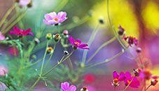 Květy vbarvě fuchsií