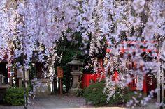 水火天満宮 Cherry blossoms SAKURA in Kyoto JAPAN