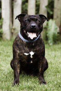Staffordshire Bull Terrier!