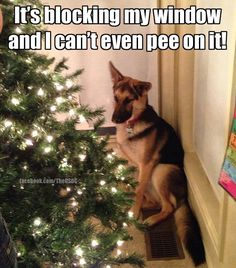 The German Shepherd | dogs | Pinterest | German shepherds, Dog and ...