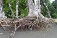 tree roots on the beach at sirena ranger station Corcovado National Park #CostaRica #wildlife #tour #nature #natureporn