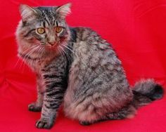 Moe is an adoptable Maine Coon Cat in Memphis, TN. Hunky maine coon seeks new best friend!  This 16 lb delight was rescued from the high-kill Tipton Co animal shelter near Memphis. He is VERY human ...