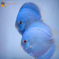 "967 Likes, 11 Comments - Rudolf Wagner (@europadiscuscenter) on Instagram: ""Blue Diamond Snake Discus Pair ❤️#discus #diskus #diskusfische #aquarium #symphysodon…"""
