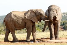 My brother from another mother - African Bush Elephant My brother from another mother - The African bush elephant is the larger of the two species of African elephant. Both it and the African forest elephant have in the past been classified as a single species.