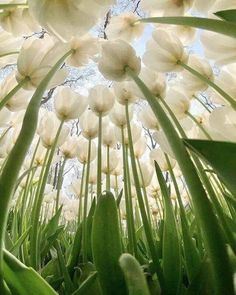 White tulips from an insect's perspective. White tulips from an insect's perspective. White Tulips, Jolie Photo, Garden Care, Mother Nature, Flower Power, Planting Flowers, Tulips Garden, Beautiful Flowers, Nature Photography