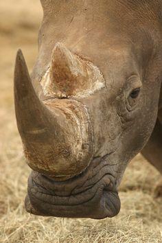 White Rhino #rhinoceros #rhino #topanimals