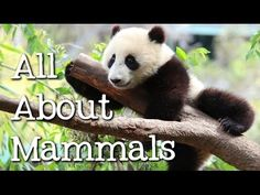 Ain't nothin' but mammals! We take a panoramic look at what makes a mammal a mammal (hair, mammary glands, warm-blooded) and why; including some unusual mamm...