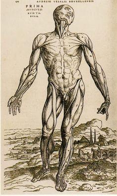 1543 André Vesale, Première table des muscles.