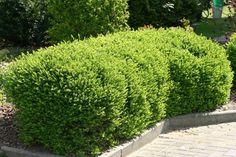 Heckenmyrthe 'Maigrün' - Lonicera nitida 'Maigrün'