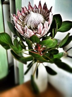 King Protea, the right way to display this wonderful flower. Protea Art, Protea Flower, Silk Flowers, Press Flowers, King Protea, Blossom Garden, Wedding Stationery Inspiration, Unusual Plants, White Roses