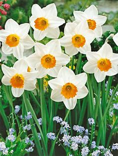 Daffodil - new beginnings