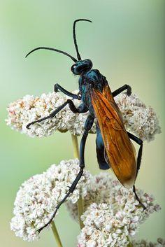 Tarantula Hawk Wasp by Bob Jensen on 500px