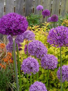 Alliums, Ours are typically 3ft tall, related to the onion, deer resistant, can be pink, purple, white, blue. Our neighbors spray paint them red, white, and blue after they dry up in June until the fourth of July.