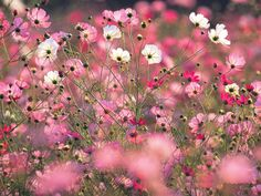 cosmos  flower seeds by Magicgreekgarden on Etsy, €1.00