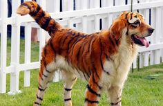Is that a Tiger or a Dog?