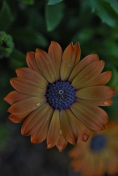 love the colours of this african daisy.. by Renee Norton