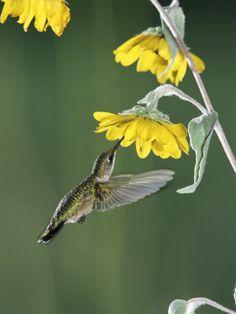 A ruby throated humminbird enjoys feeding from a sunflower in Texas, USA.