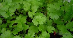 Cilantro should be called the Wonder Herb. It can be snowing like crazy, and I can wander through the garden, seeing tiny cilantro plants sprouting. It is one of the first markers of spring Growing Coriander, Coriander Seeds, Coriander Leaves, Fresh Coriander, Hydroponic Gardening, Organic Gardening, Container Gardening, Vegetable Gardening, Balcony Garden