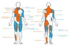 Une version très simplifiée du système musculaire humain.