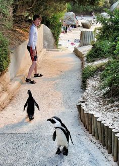 Wonderful Beaches in South Africa Presenting Natural Scenery : Beaches In South Africa Pinguin
