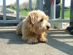 Photo de hugo - Chien de race Norfolk-Terrier
