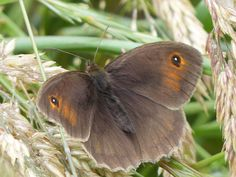 Meadow Brown Butterfly Female - seen on the Fife Coastal Path walk between Leuchars and St Andrews.