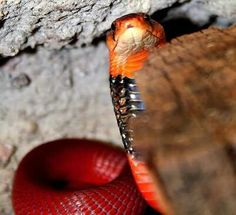 Naja pallida - Red Spitting Cobra