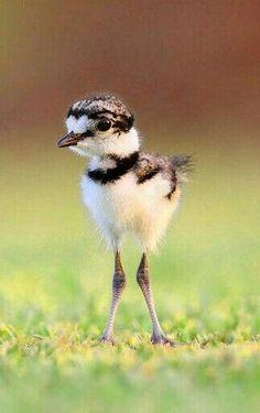 Baby Killdeer    nature     wild life   #nature #wildlife  https://biopop.com/